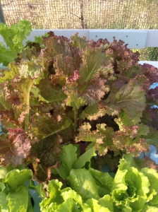 Lettuce growing at GreenView Aquaponics Family Farm and Apiary in Cape Coral FL