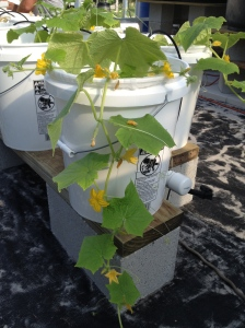 Cucumbers growing at GreenView Aquaponics Family Farm and Apiary in Cape Coral FL