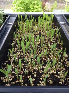 GreenView Aquaponics Family Farm | Popcorn Shoots | local microgreens