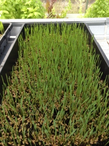 GreenView Aquaponics Family Farm | Wheat Grass | local microgreens