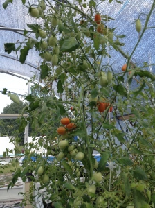 GreenView Aquaponics Family Farm | Grape Tomatoes | Local Produce