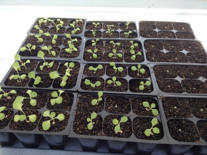 Plant more lettuce to start the fall rotations. Just waiting for the cooler weather!