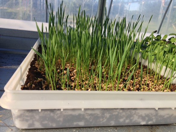 Young Wheatgrass