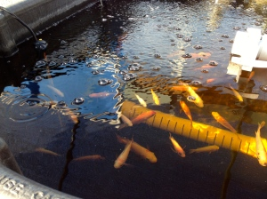 Red Nile Tilapia with Heater